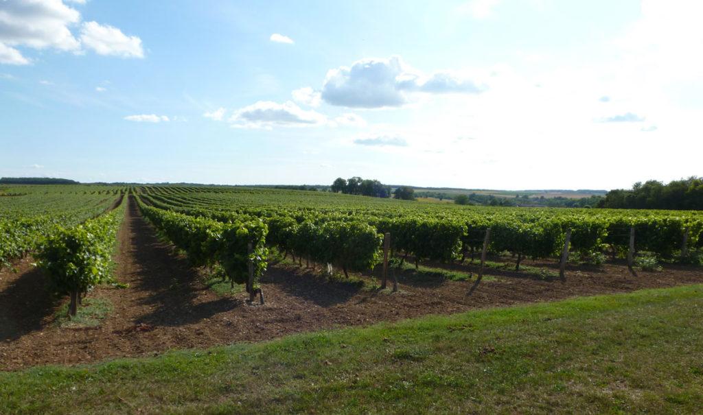 Culture de tournesol et vignes alternent sur le parcours